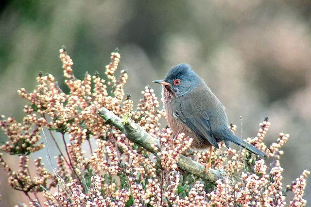 DartfordWarbler-2